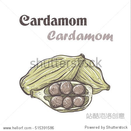 Cardamom. Spice cardamom color vector illustration. skech Cardamom