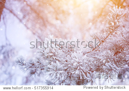 Winter snowy pine tree christmas scene. Fir branches covered with frost wonderland. Calm blurred snow flakes winter time background with copy space area. Snow covered branches in winter