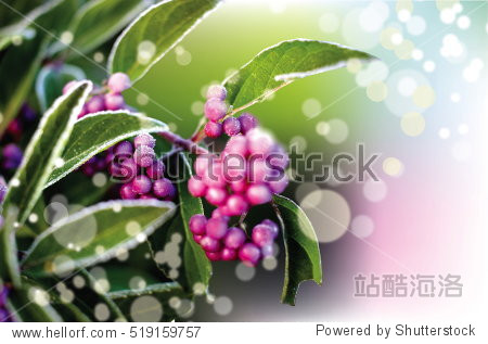 Closeup of Christmas berries dusted with snow background