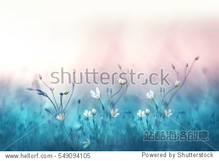 Small white flowers on a toned on gentle soft blue and pink background outdoors close-up macro . Spring summer border  template floral background. Light air delicate artistic image.