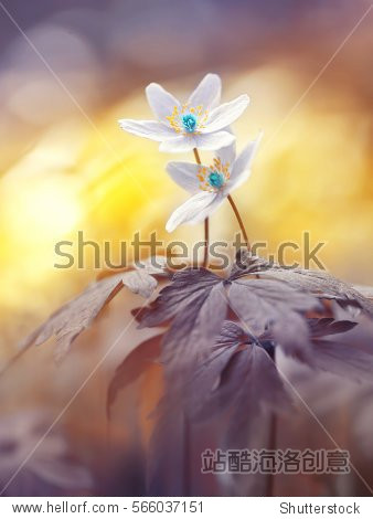 Spring two blooming forest flowers in soft focus morning at sunrise in sun outdoor close-up macro. Spring template floral background wallpaper. Elegant gentle romantic delicate artistic image love .