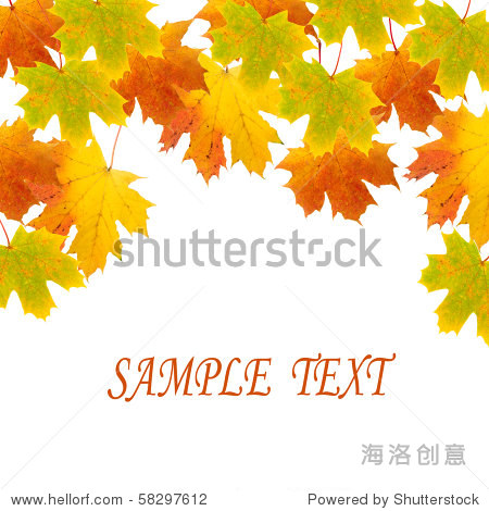 Maple leaves on a white background