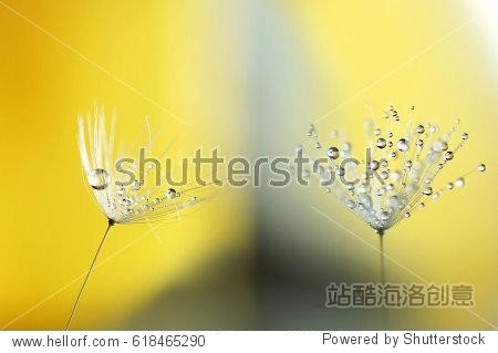 Two beautiful light parachute dandelion flower in droplets of water on a yellow background close-up macro. Gentle airy abstract artistic image.