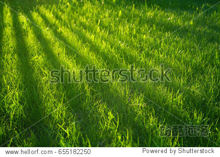 Young juicy green grass with stripes of sunlight and a shadow from the fence.