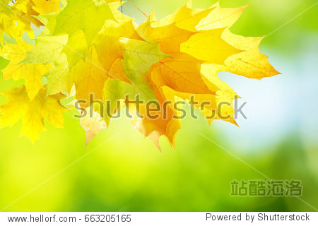 Natural autumn background with golden yellow and orange maple leaves glowing in the sun on a gentle blurry light green background.  Autumnal template for text.