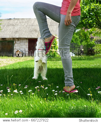 A white puppy is playing with the mistress on a green lawn. A small puppy of a Maltese lapdog hangs on a girl's foot  humor  joke.