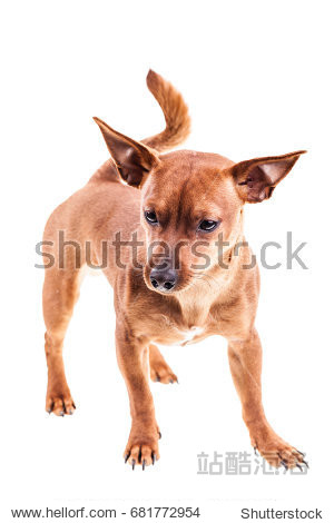 a miniature pinscher (pincher) dog isolated over a white background