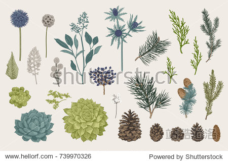 Winter set. Evergreen  cone  succulents  flowers  leaves  berries. Botanical vector vintage illustration. Colorful