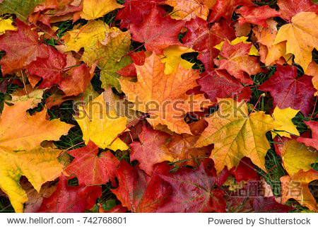 Autumn. Multicolored maple leaves lie on the grass.