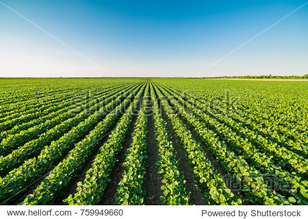 Green ripening soybean field  agricultural landscape