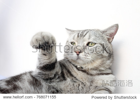 Portrait of American shorthair cat is put his hand up on white background