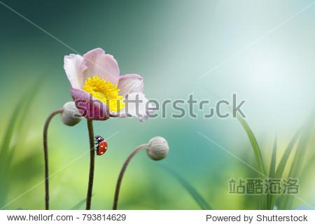 Beautiful pink flower anemones fresh spring morning on nature with ladybug on blurred soft blue green background  macro. Spring template  fabulous elegant amazing artistic image