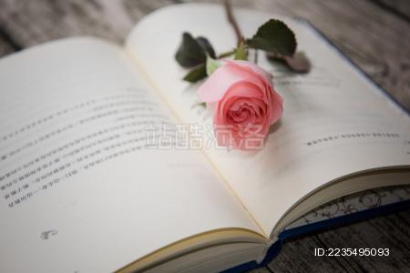 玫瑰花静物特写