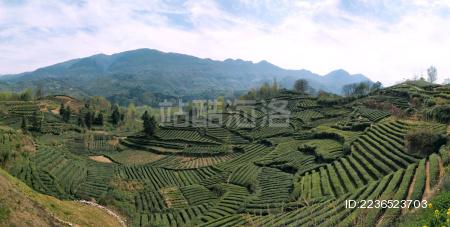 中国陕西汉中西乡江塝茶园茶山全景图
